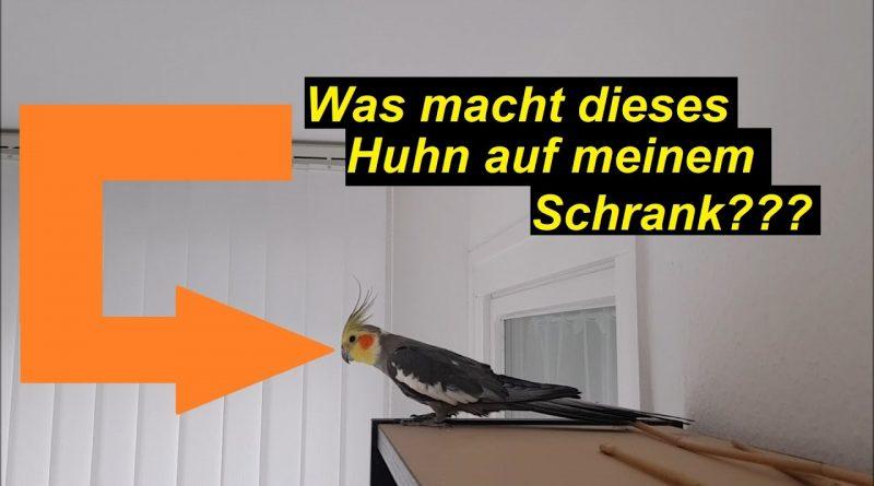 ick' hab nen Huhn aufm Schrank! Nymphensittiche! SeppelPower